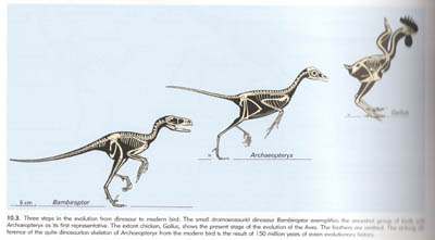 Comparison of Bambiraptor, Archaeopteryx, and a Modern Chicken