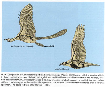 Comparison of Archaeopteryx to a Modern Eagle