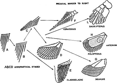 Diagrams illustrating hypothetical evolution of the extremities of diapnoan (I), ganoid (H) and elasmobranch (G) from a fin fold supported by a series of similar radial cartilages.