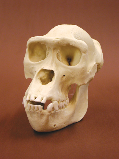 Female Gorilla Skull