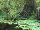 Alligator in Swamp (Photo Taken from Airboat)